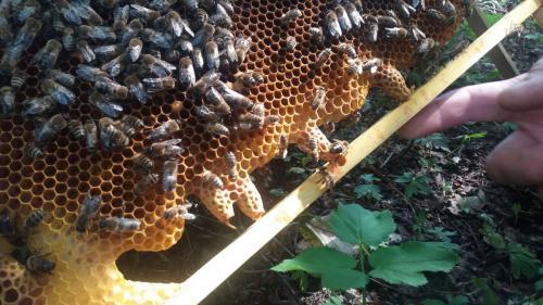 Vývoj včelstva 24.5.2019